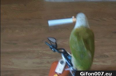 parrot-cigarette-in-his-mouth-gif-video