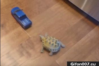 Tortoise, Car, Gif, Video, Funny Animals