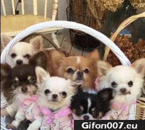 Funny Cute Dogs, Puppies, Video, Gif
