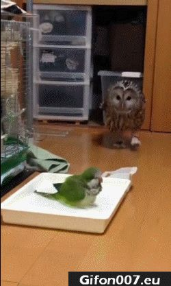 Funny Owl, Parrot, Video, Gif