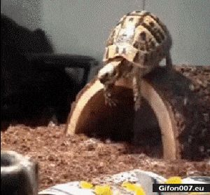 Funny Tortoise, Video, Fall, Gif