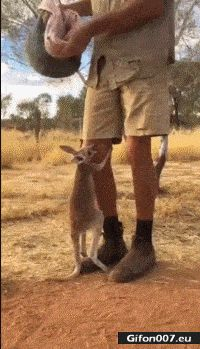 Cute Baby Kangaroo, Video, Gif