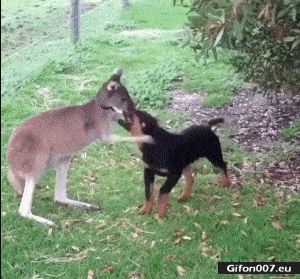 Cute Dog and Kangaroo, Love, Video, Gif