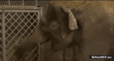 Funny Baby Elephant Fail, Video, Gif