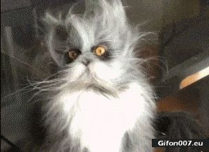 Funny Cat, Blurred hair, Video, Gif