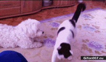 Funny Dog and Cat Video, Gif
