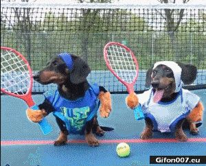 Funny Dogs Dachshund, Playing Tennis, Video, Gif
