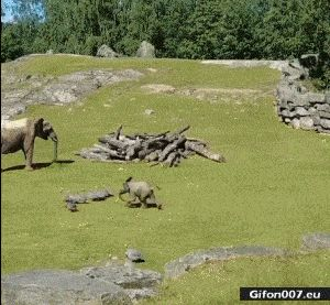 Funny Elephant, Fail, Video, Gif