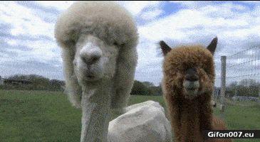 Funny Llamas, Fur, Hair, Video, Gif