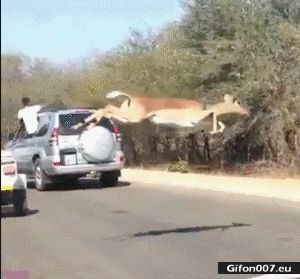 Funny Video, Antelope, Road, Cars, Gif