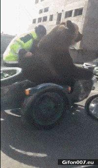 Funny Video, Bear, Motorbike, Gif