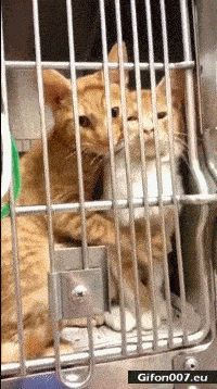 Cute Cats in Cage, Cuddle, Video, Gif