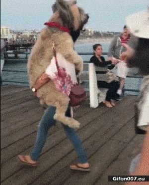 Funny Cute Big Dog, Carry, Woman, Video,Gif