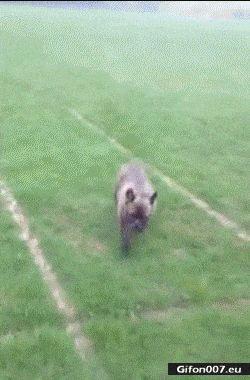Funny Dog, Slide, Football Field, Video, Gif