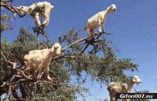 Funny Goats in Trees, Video, Gif