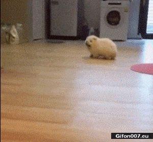 Funny Little Dog, Walking, Video, Gif