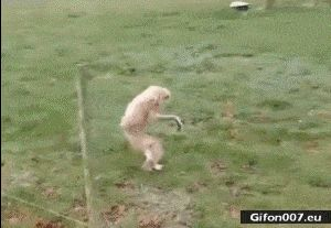 Funny Monkey, Running, Video, Gif