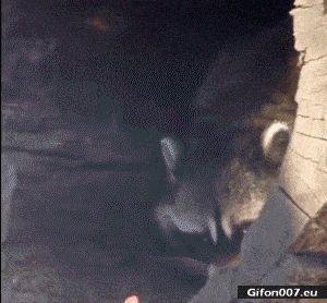 Funny Raccoon, Food, Video, Gif