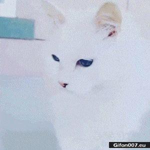 Beautiful Cat, Blue Eyes, Video, Gif