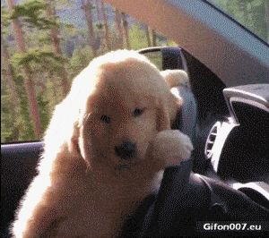 Funny Dog, Driving a Car, Video, Gif