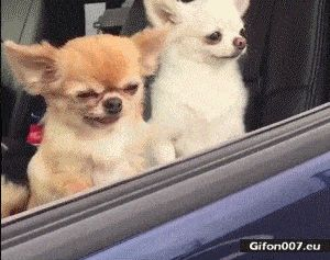 Funny Small Dog, Falling, Video, Gif