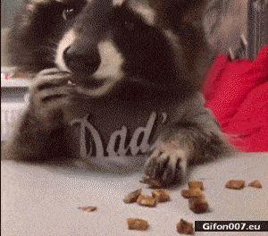 Funny Video, Cute Raccoon, Eating, Gif