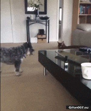 Funny Video, Dog, Angry Cat, Gif