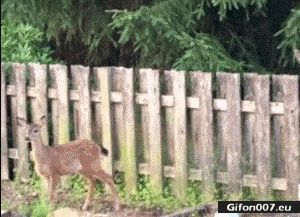 Funny Video, Fail, Deer, Jump, Gif