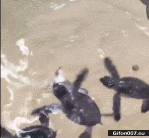 Funny Video, Little Crazy Water Turtle, Gif