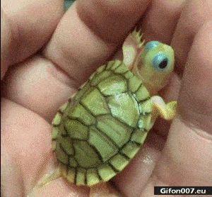 Funny Little Cute Tortoise, Video, Gif