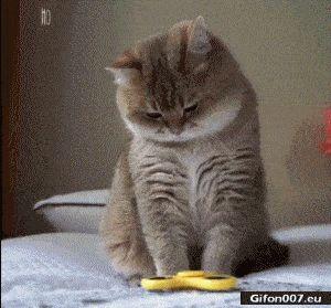 Funny Video, Cat, Fidget Spinner, Gif