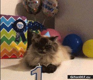 Funny Video, Cat, Happy Birthday, Gif