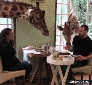 Funny Video, Food, Giraffes, Gif