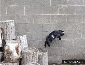 Funny Video, Goat Parkour, Gif