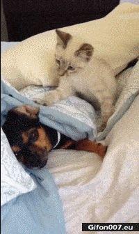 Funny Video, Sleeping Dog, Cat, Fight, Gif