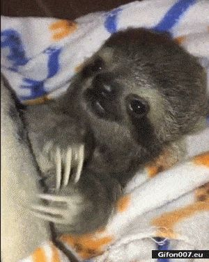 Funny Video, Cute Baby Sloth, Gif