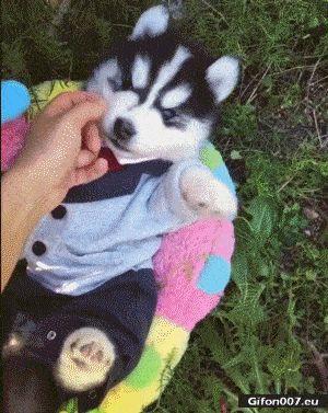 Funny Video, Cute Puppy Husky, Gif