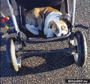 Funny Video, Dog, Baby Carriage, Gif