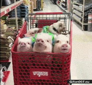 Funny Video, Pigs, Dog, Shopping Cart, Gif