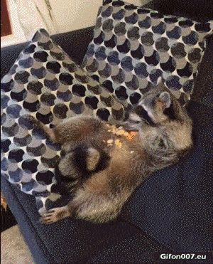 Funny Video, Raccoon, Eating, Gif