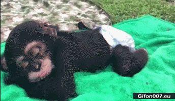 Funny Video, Relaxing Monkey, Gif