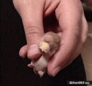 Funny Video, Baby Hamster, Eating, Gif