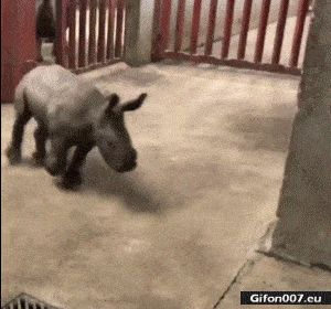 Funny Video, Baby Rhinoceros, Gif