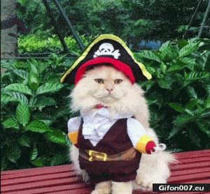 Funny Video, Cat, Pirate Costume, Gif