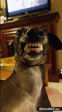 Funny Video, Dog, Face, Teeth, Gif