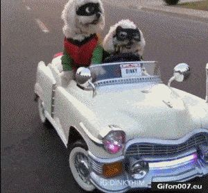 Funny Video, Dogs, Car, Costume, Gif